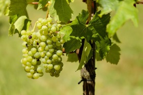 grapes-1611089_960_720.jpg