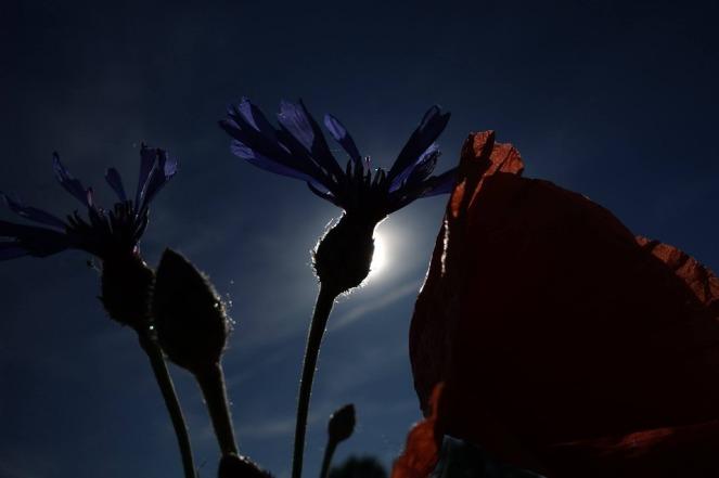poppy-1633489_960_720.jpg