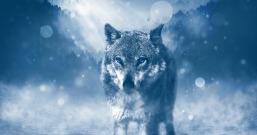 wolf-1836875_960_720.jpg
